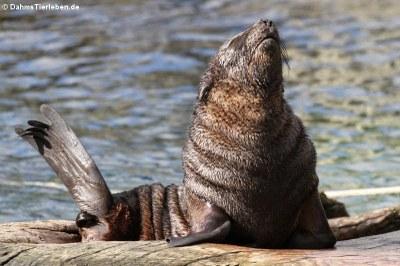 Südafrikanischer Seebär (Arctocephalus pusillus pusillus)