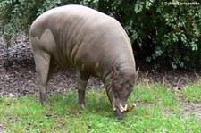 Sulawesi-Hirscheber (Babyrousa celebensis) im Zoo Frankfurt