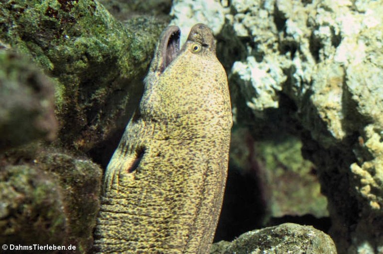 Gymnothorax fimbriatus