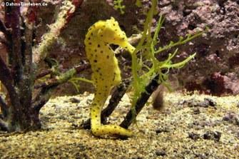Kuda-Seepferdchen (Hippocampus kuda)