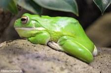Neuguinea-Riesenlaubfrosch (Nyctimystes infrafrenata) Zoo Frankfurt