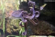 Gewöhnlicher Krake (Octopus vulgaris) im Zoo Frankfurt