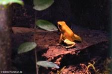 Goldener Pfeilgiftfrosch (Phyllobates terribilis) im Zoo Frankfurt