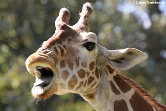 Netzgiraffe (Giraffa camelopardalis reticulata)