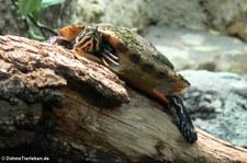 Florida-Rotbauch-Schmuckschildkröte (Pseudemys nelsoni) im Zoo Frankfurt
