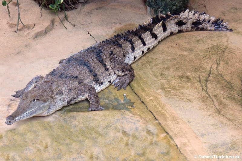 Crocodylus johnsoni