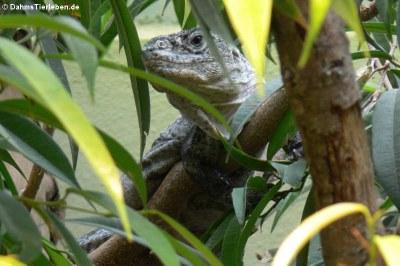 Utila-Leguan (Ctenosaura bakeri)