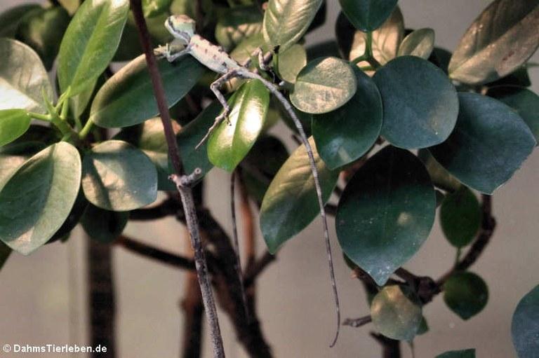 Laemanctus serratus