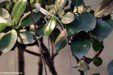 Helmkopfbasilisk (Laemanctus serratus) im Zoo Frankfurt
