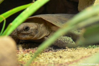 Spaltenschildkröte (Malacochersus tornieri)