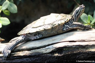 Sägerücken-Schildkröte (Graptemys nigrinoda)