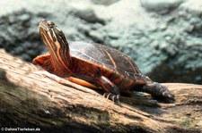 Östliche Zierschildkröte (Chrysemys picta picta) im Zoo Frankfurt