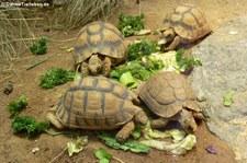Ägyptische Landschildkröten (Testudo kleinmanni) im Zoo Frankfurt