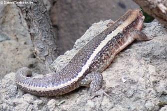 Breitschwanz-Ringelschildechse (Zonosaurus laticaudatus)