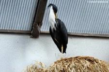 Elsterreiher (Egretta picata) im Zoo Frankfurt
