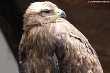 Steppenadler (Aquila nipalensis) im Wildpark Gangelt
