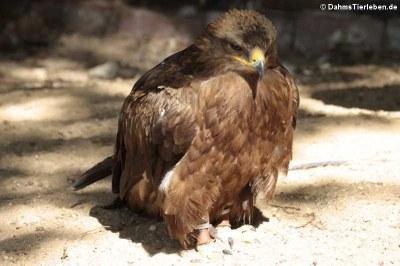 Steppenadler (Aquila nipalensis)