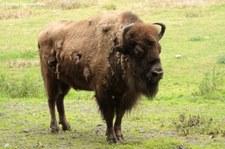 Wisent (Bison bonasus) im Wildpark Gangelt