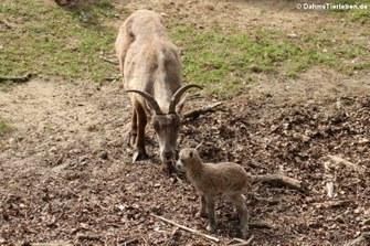 Alpensteinböcke (Capra ibex)