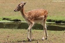 Europäischer Damhirsch (Dama dama) im Wildpark Gangelt