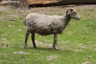 Heidschnucke (Ovis ammon aries)