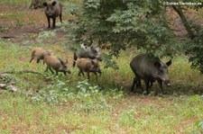 Wildschweine (Sus scrofa scrofa) im Wildpark Gangelt
