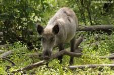 Wildschwein (Sus scrofa scrofa) im Wildpark Gangelt