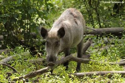 Wildschwein (Sus scrofa scrofa)
