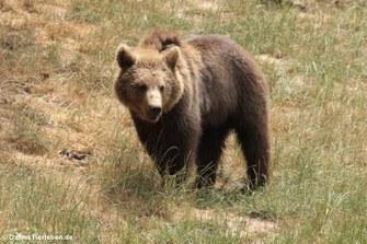 Braunbär (Ursus arctos arctos)