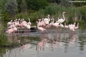 Zwergflamingos (Phoenicopterus minor)
