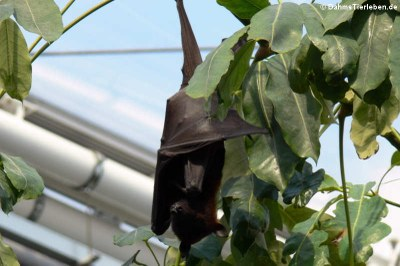 Kalong oder Malayischer Flughund (Pteropus vampyrus)