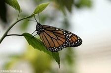 Monarchfalter (Danaus plexippus) im Schmetterlingsgarten Grevenmacher, Luxemburg