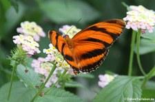 Passionsfalter (Dryadula phaetusa) im Schmetterlingsgarten Grevenmacher, Luxemburg