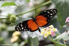 Tiger-Passionsblumenfalter (Heliconius hecale) im Schmetterlingsgarten Grevenmacher, Luxemburg