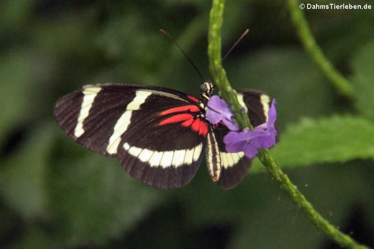 Heliconius pachinus
