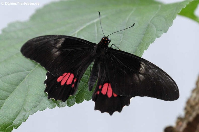 Papilio anchisiades