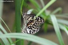 Karierter Schwalbenschwanz (Papilio demoleus) im Jardin des Papillons, Grevenmacher, Luxemburg