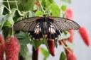 Papilio memnon (weiblich)