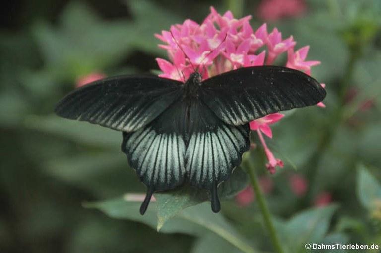 Papilio memnon (männlich)