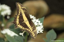 Königs-Schwalbenschwanz (Papilio thoas) im Schmetterlingsgarten Grevenmacher, Luxemburg