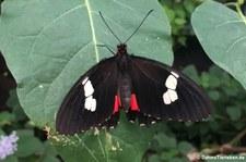 Parides iphidamas im Schmetterlingsgarten Grevenmacher, Luxemburg