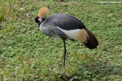 Ostafrikanischer Kronenkranich (Balearica regulorum gibbericeps)