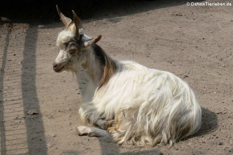 Girgentana-Ziege