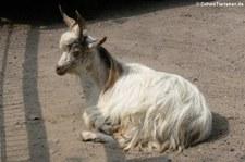 Girgentana-Ziege im Hamburger Tierpark Hagenbeck
