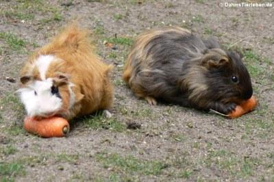 Hausmeerschweinchen (Cavia aperea f. porcellus)