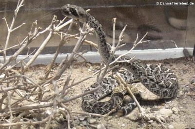 Texas-Klapperschlange (Crotalus atrox)