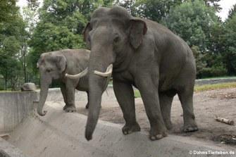 Elephas maximus indicus