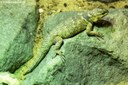 Sceloporus poinsettii