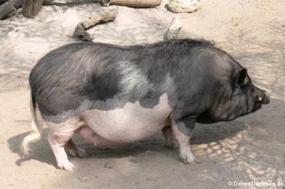 Pietrain-Schwein (Sus scrofa f. domestica)