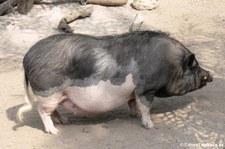 Pietrain-Schwein im Tierpark Hagenbeck, Hamburg